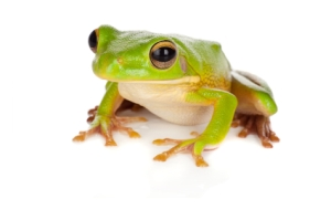 Watching tree frog