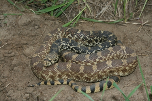 bull-snake-on-trail